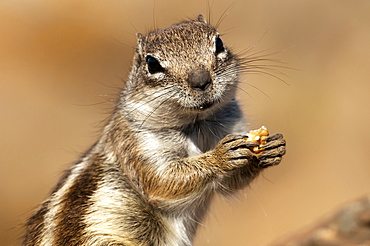 Barbary ground squirrel, (Atlantoxerus getulus) wildlife, Canary Island, Fuerteventura