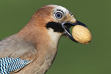 Eichelhaeher / (Garrulus glandarius) / mit Walnuss, DeutschlandEurasian Jay / (Garrulus glandarius) / Germany, with walnut