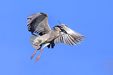 Night Heron, adult flying with nesting material in breeding plumage, Venice Rookery, Venice, Florida, USA, North America / (Nycticorax nycticorax)