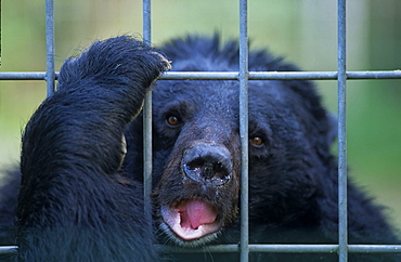 (Ursus thibetanus), Asian black bear, moon bear, in cage