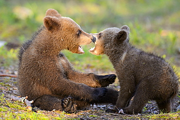 European Brown Bear, cubs, Finland / (Ursus arctos)