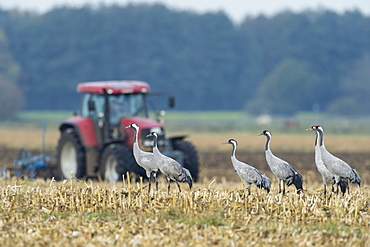 Common Cranes, Lower Saxony, Germany / (Grus grus)