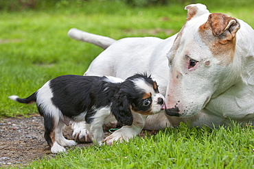 Bullterrier and Cavalier King Charles Spaniel, puppy, tricolour