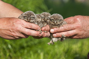 little owl, chicks / (Athena noctua)