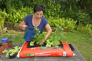 Planting sack of potting compost with tomatoes, basil, parsley, majoram, rosemary, lettuce / (rosmarinus officinalis), (ocimum basilicum), (petroselinum crispum), (origanum majorana)