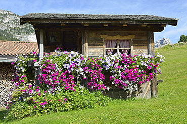 Woodshed with petunia / (Petunia √ó hybrida) / Groednertal, South Tirol, Italy