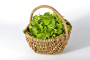 Miner's lettuce, winter purslane, indian lettuce / (Claytonia perfoliata)