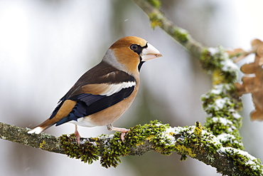 Hawfinsch (Coccothraustes coccothraustes)
