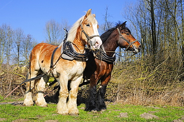 belgian draught horses, moving wood, mire of Huels, NRW, Germany