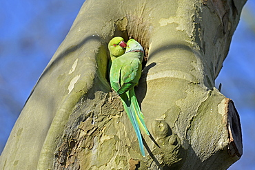 rose-ringed parakeet, (Psittacula krameri), Germany