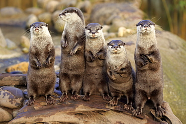 Oriental small-clawed Otter, group of adults standing upright, alert, Asia / (Amblonyx cinerea)