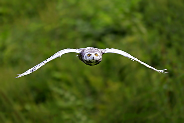 Snowy Owl, adult flying, Pelm, Kasselburg, Eifel, Germany, Europe / (Nyctea scandiaca)