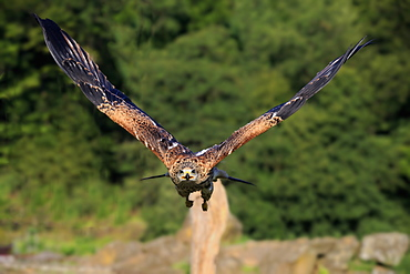 Red Kite, Pelm, Kasselburg, Eifel, Germany, Europe / (Milvus milvus)