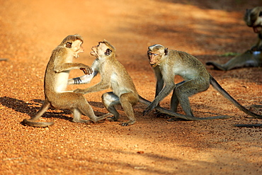 Red Monkey, group of adults fighting, Yala Nationalpark, Sri Lanka, Asia / (Macaca sinica)