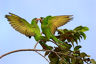Blue-Crowned Parakeet, adult fighting, Pantanal, Mato Grosso, Brazil, South America / (Thectocercus acuticaudatus)
