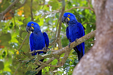 Blue Macaw, couple on tree, Pantanal, Mato Grosso, Brazil, South America / (Anodorhynchus hyacinthinus)