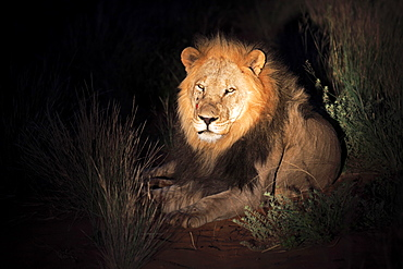 Lion, adult male, Tswalu Game Reserve, Kalahari, Northern Cape, South Africa, Africa / (Panthera leo)