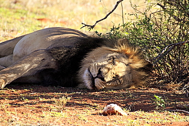Lion, adult male sleeping resting, Tswalu Game Reserve, Kalahari, Northern Cape, South Africa, Africa / (Panthera leo)