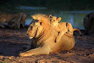 Lion, young four month old with brother five year old at water, siblings, social bebaviour, Tswalu Game Reserve, Kalahari, Northern Cape, South Africa, Africa / (Panthera leo)