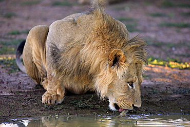 Lion, male five years old drinking at water, Tswalu Game Reserve, Kalahari, Northern Cape, South Africa, Africa / (Panthera leo)