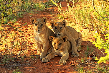 Lion, three youngs four month old curios, siblings, Tswalu Game Reserve, Kalahari, Northern Cape, South Africa, Africa / (Panthera leo)