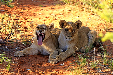 Lion, two youngs four month old jawning, siblings, Tswalu Game Reserve, Kalahari, Northern Cape, South Africa, Africa / (Panthera leo)