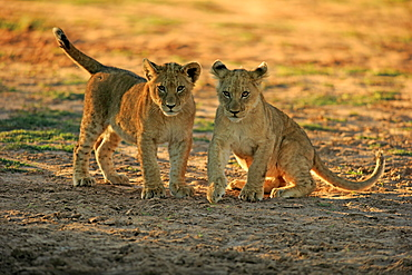 Lion, two youngs four month old alert, siblings, Tswalu Game Reserve, Kalahari, Northern Cape, South Africa, Africa / (Panthera leo)