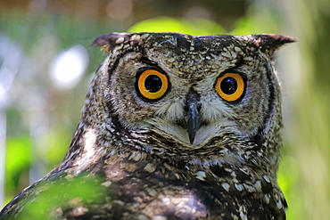 Spotted Eagle Owl, adult portrait alert, South Africa, Africa / (Bubo africanus)