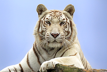Indian Tiger, white Form, Asia / (Panthera tigris tigris)