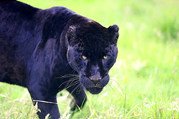 Jaguar, Black Panther, South America / (Panthera onca)