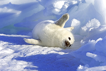 Harp Seal, pup, pack ice, Magdalen Islands, Gulf of St. Lawrence, Quebec, Canada, North America / (Pagophilus groenlandicus) / whitecoat