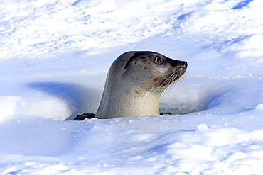 Harp Seal, female, looking out of breathing hole, Magdalen Islands, Gulf of St. Lawrence, Quebec, Canada, North America / (Pagophilus groenlandicus)