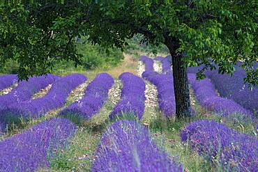 Deciduous tree in Lavender field, Provence, Southern France / (Lavendula angustifolia)