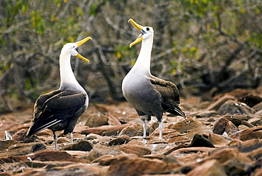 Waved Albatross, pair, courting, Espanola Island, Galapagos Islands, Ecuador / (Diomedea irrorata)