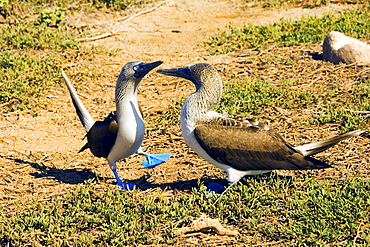 Blue-footed Boobies, pair, North Seymour Island, Galapagos Islands, Ecuador / (Sula nebouxii)