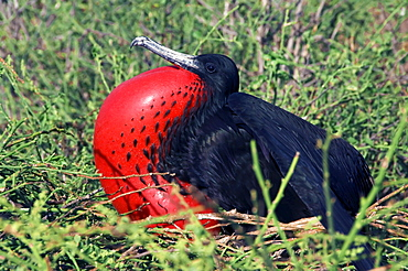 Magnificent Frigatebirds, male, North Seymour Island, Galapagos Islands, Ecuador / (Fregata magnificens)