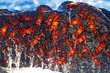 Sally Lightfoot Crabs, North Seymour Island, Galapagos Islands, Ecuador / (Grapsus grapsus) / Rock Crab