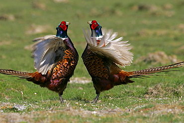 Game Pheasants, males, Schleswig-Holstein, Germany / (Phasianus colchicus) / side
