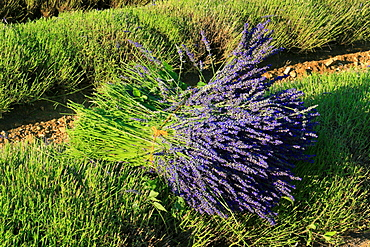 Bundle of Lavender, Vaucluse, Provence, France / (Lavandula angustifolia)