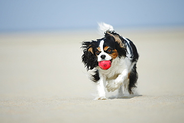 Cavalier King Charles Spaniel, tricolor / Ball
