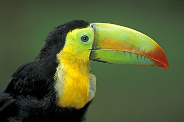 Keel-billed Toucan, Honduras / (Ramphastos sulfuratus) / side, profile
