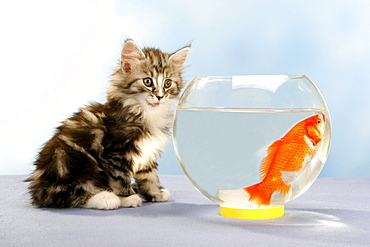 Norwegian Forest Cat, kitten, 7 weeks, and Goldfish in glass