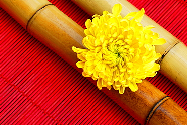 Chrysanthemum blossom on bamboo sticks / (Chrysanthemum spec.)