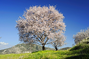 Almond trees, Cyprus / (Prunus spec.)