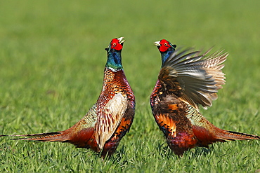 Common Pheasants, males Schleswig-Holstein, Germany / (Phasianus colchicus) / side