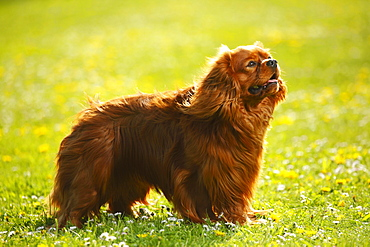 Cavalier King Charles Spaniel, ruby / side