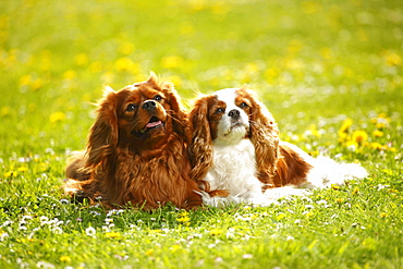 Cavalier King Charles Spaniel, ruby and blenheim