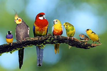Gouldian Finch, Cockatiel, Eatern Rosella, Turquoisine Parrakeet, Budgerigar, Zebra Finch and Canary / Budgie