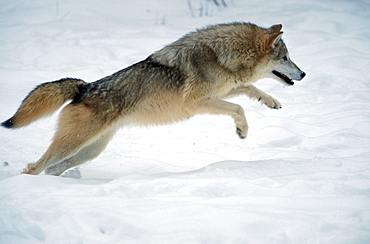 Wolf / (Canis lupus) / side