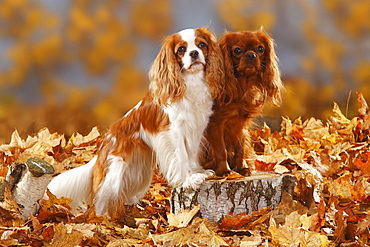 Cavalier King Charles Spaniel, blenheim and ruby / autumn foliage